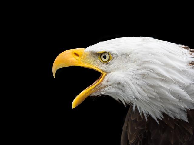 bald-eagle-2715461_640